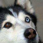 狗的陰陽眼