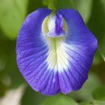 蝶豆花可食用嗎?