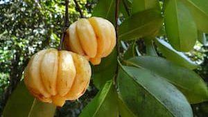 藤黃果富含羥基檸檬酸(HCA) 能幫助減肥嗎?