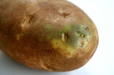 誤食發芽或變綠的馬鈴薯,可能導致龍葵鹼中毒,嚴重可致死