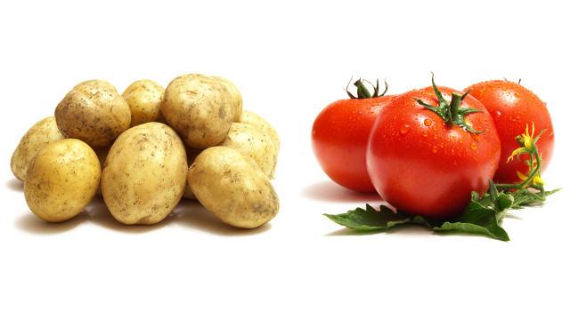 番茄中的生物鹼是番茄鹼,即使含有龍葵鹼也屬極少量