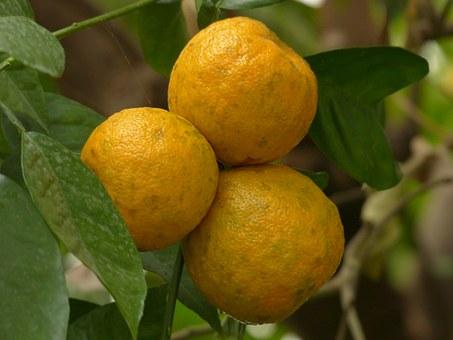 苦橙的果皮就有這種辛樂芬的成分